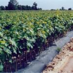 BioAgri Biohajoava maankatekalvo 1,2 m x 500 m x 0,035 mm