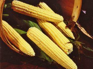 Maissinsiemen Sweet Nugget F1, 5000 siementä, peitattu 65pv
