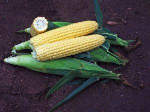 Maissinsiemen Sunrise F1, 1000 siementä , peittaamaton 68pv